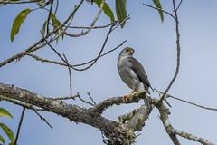 Tiny Hawk (Accipiter superciliosus) (Hamilton Images) Tags: tinyhawk accipitersuperciliosus bird featherscostarica canon 5dmarkiv 500mm 14xteleconverteriii january 2019 juancarlosvindasphototours neotropicphototour imgdl7a0132