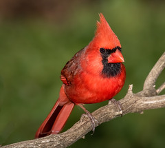Vibrant Crimson (tresed47) Tags: 2020 202001jan 20200107chestercountybirds birds canon7dmkii cardinal chestercounty content folder home january pennsylvania peterscamera petersphotos places season takenby us winter