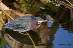 Green Heron at Newton Park (wayne kennedy EDD) Tags: greenheron heron newtonpark centralflorida bird wetlands