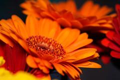 2020 #7 (David S Wilson) Tags: england flowers cambridgeshire olympuspenf floral ely 2020 davidswilson lightroom leica2845mmmacro