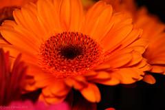 2020 #4 (David S Wilson) Tags: england flowers cambridgeshire olympuspenf floral ely 2020 davidswilson lightroom leica2845mmmacro gerbera orange