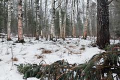 Winter forest (Kimmo Järvinen) Tags: winter talvi landscape maisema snow tree forest nikon tokina tokina1116mm d500 nature luonto finland kitee atx116prodx tokina1116mmf28