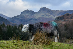 Cumbria life (moniquerebanks) Tags: herdwicksheep langdale cumbria uk countryliving countryside farmanimal mountains fells nikond7100 winter beautyinwinter unesco worldheritage landscape landschap schaap bergen heuvels landschaft britain beatrixpotter breed