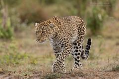 African Leopard - Panthera pardus (rosebudl1959) Tags: lorian masaimara zebraplainsmaracamp africanleopard november 2019