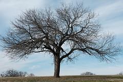 Lone Oak 2020 (Gene Ellison) Tags: northtexas winter landscape trees undergrowth green grass brown leaves clouds bluesky nature photography naturephotography fujifilm classicchrome sooc