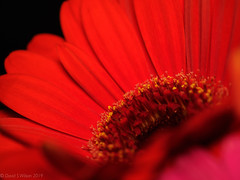 2020 #3 (David S Wilson) Tags: england flowers cambridgeshire olympuspenf floral ely 2020 davidswilson lightroom leica2845mmmacro