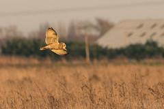 Short Eared Owl -7957 (WendyCoops224) Tags: 100400mmlmk2 80d fens canon eos ©wendycooper asio flammeus short eared owl