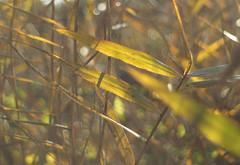 in the reeds (Johnson Cameraface) Tags: 2019 november autumn olympus omde1 em1 micro43 meyeroptikgorlitzoreston 50mm m42 f18 manualfocus johnsoncameraface unseen2019 reeds