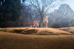 Dear Garden (Gift of Light) Tags: narapark nara japan deer animal winter nature travel wildlife morining sonyalpha sony alpha a9 sonya9 sonyfe24105mmf40goss fe g oss 24105mm 2410540 f40 4024105
