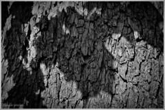 Hojas al atardecer / Sunset leaves (Claudio Andrés García) Tags: árboles trees hojas leaves atardecer sunset corteza cortex blackandwhite blancoynegro blackwhite monocromático monochromatic sombra shadow naturaleza nature fotografía photography shot picture naturalezaurbana urbannature cybershot flickr