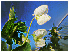 Polytunnel Peas (Julie (thanks for 9 million views)) Tags: polytunnel flower pea 100flowers2020 flora lowpov winter garden sliderssunday topazglow postprocessed hss plant vegetable crop cultivated nikoncoolpixs9700