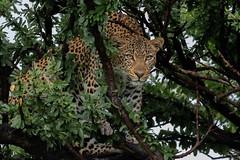 The Famous Leopard, Fig in Tree (Hector16) Tags: olaremotorogi motorogiconservancy kenya wildlife 2019 massaimara masaimara siana narokcounty ngc npc