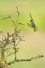 Mésange bleue.jpg (MELEARD David) Tags: oiseaux paridés mésangebleue passériformes aves birds cyanistescaeruleus eurasianbluetit paridae