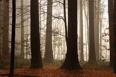 Fog enchantment (eichlera) Tags: forest fog foggy myst misty trees sunlight light golden enchanted woods winter autumn leaves