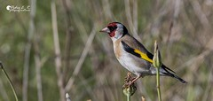 Carduelis carduelis (Pere E. R.) Tags: birds oiseaux ocells wildlife nature natura cadernera goldfinch