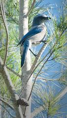 Florida Scrub Jay on Sand Pine (paulgarf53) Tags: bird jay scrubjay florida endangered species nature ocalanationalforest wildlife hiking nikon d700
