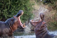 Battle of the giants (patrickdunse) Tags: 150600mm 6d africa amazinganimals animal animalelite animals battle beatifulanimals canon canon6d canoneos6d eos fight flusspferd flusspferde hippo hippopotamus hippopotamuses hippos inaktion inaction kampf kruger krugernationalpark krüger lake np nationalpark natur naturalworld nature naturebrilliance naturephotography naturfotografie nilpferd nilpferde safari see sigma sigma150600mmf563dgoshsmcontemporary sonne sonnenuntergang southafrica sun sunset südafrika teeth tele telelens teleobjektiv tier tiere tierfotografie tierwelt tropfen wasser wassertropfen water waterdrops wild wildanimals wildetiere wildlife wildlifephotography wildlifeplanet zähne drops