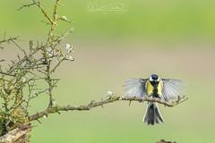 Mésange charbonnière.jpg (MELEARD David) Tags: oiseaux paridés mésangecharbonnière passériformes aves birds greattit paridae parusmajor
