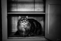 Amy F. F. et le placard. (LACPIXEL) Tags: amyff amy placard armoire cupboard armario chat cat gata animal pet mascota blancoynegro blackwhite nikon nikonfr flickr lacpixel