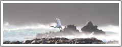 Little Egret off Wembury Beach. (ronalddavey80) Tags: canon eos70d egret seascape bird wildlife nature