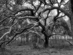 Two Oak Trees (surfcaster9) Tags: oaktrees tangled outside nature woods blackwhite micro43 florida forest outdoors bw