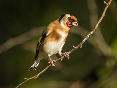 Goldfinch (Maria-H) Tags: goldfinch cardueliscarduelis martinmere wwt burscough lancashire uk olympus omdem1markii panasonic 100400