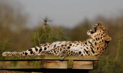 IS_EOS_000755 (Ian Slingsby) Tags: amurleopard yorkshirewildlifepark ywp wildlifepark zoo 14xextender
