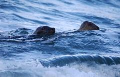 Seals. (Chris Kilpatrick) Tags: chris canon canon7dmk2 peel isleofman irishsea water sigma150mm600mm sigma outdoor nature seal animal springwatch sunday january freezing
