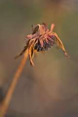 Withered Rudbeckia (pstenzel71) Tags: blumen natur pflanzen rudbeckiahirta rudbeckia blackeyedsusan sonnenhut withered darktable flower bokeh ilce7rm3 sel90m28g
