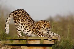 IS_EOS_000695 (Ian Slingsby) Tags: amurleopard ywp yorkshirewildlifepark wildlifepark zoo 14xextender