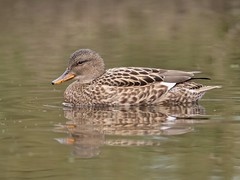 Gadwall (PhotoLoonie) Tags: nature wildlife gadwall duck waterbird