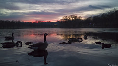 the reflecting goose (peter-goettlich) Tags: goose gees brant lake evening dark sunset clouds reflection water trees cellphone huawaii lowlight