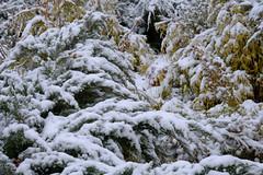 Winter Snow On Bushes (Modkuse) Tags: snow winter nature natural natureart art artphotography artistic artisticphotography photoart sooc straightoutofcamera nopostprocessing velvia fujifilmvelviasimulation fujifilmxh1velviasimulation fujifilm fujinon fujifilmxh1 xh1 xh1velviasimulation fujinonxf55200mmf3548rlmois xf55200mmf3548rlmois winterbeauty winterlandscape wintercolor