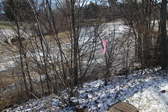 Flooding at Curtiss Park (Saline, Michigan) - Sunday January 12th, 2020 (cseeman) Tags: saline michigan water river curtisspark park salineriver curtisspark01122020 flooding curtisparkflooding curtissparkflood01122020 dogs pets runyon runyon01122020 puppy puppies dog dogbranddog mixedbreed brown young rescuedogs catahoula catahoulamix catahoulaleopardmix runyonsadventures