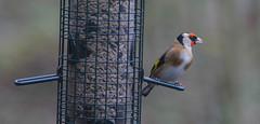 Goldfinch Sussex (Adam Swaine) Tags: chaffinch rspb birds gardenbirds englishbirds britishbirds wildlife woodland naturelovers nature england english britain british uk ukcounties canon counties countryside county adamswaine 2020 naturesfinest sussex westsussex