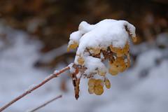 Winter Snow On Hydrangea (Modkuse) Tags: winter snow nature winterbeauty wintercolor flower art natural artistic dry velvia faded hydrangea photoart artisticphotography flowerart natureart artphotography sooc fujifilmvelviasimulation fujifilmxh1velviasimulation fujifilm fujinon nopostprocessing xh1 straightoutofcamera fujinonxf55200mmf3548rlmois xf55200mmf3548rlmois fujinonxf55200f3548rlmois fujifilmxh1