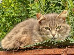 Gatito lindo (In Dulce Jubilo) Tags: animal animals andalucia andalusia gato cat wild salvaje bello nice verde green fotografía photography espagne españa spanien spain