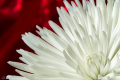 You gotta live on. (Snap.off) Tags: whiteflowers whiteflower colorfully colorful color colors natureza naturephotography naturephotographer nature arizonanature az arizona phoenix sonya7r2 sonya7rii sonyemount 5518za carlzeiss zeiss beautifulflowers flowerpower flowers flower bokeholics bokeh dof upclose garden macroflowers macrophotography micro makro macro flowersandmacro macroandflowers plantlife floral botanical plants plant