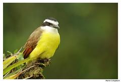 Great Kiskadee (muriel.schupbach) Tags: costarica greatkiskadee mscphotoblog4evercom oiseau bird birdwatching oiseaujaune southamerica amériquedusud