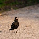 Blackbird in gorgeous golden light