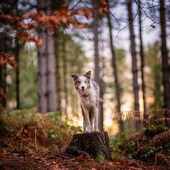 The Star at Delamere (Chris Willis 10) Tags: will delamere star dog animal pets forest nature mammal outdoors cute autumn tree purebreddog domesticanimals canine looking younganimal puppy small friendship brown woodland forrest sunset square crop 85mm 14