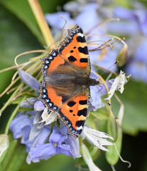 Small Tortoiseshell Butterfly (MJ Harbey) Tags: butterfly aglaisurticae insect lepidoptera nymphalidae tortoiseshellbutterfly smalltortoiseshellbutterfly nikon d3300 nikond3300 canonsashby northamptonshire nationaltrust