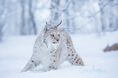 What is going on over there? (CecilieSonstebyPhotography) Tags: bokeh eartufs eurasianlynx lynx winter closeup frost cat canon cold markiii gaupe langedrag january ears canon5dmarkiii ef70200mmf28lisiiusm snow catfamily eyes animal white specanimal specanimaliconofthemonth specanimalphotooftheday