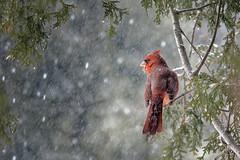 Male Cardinal (Roger Daigle) Tags: birds cardinal snowing trees nikon winter