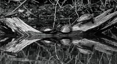 Turtles (*Millie*) Tags: turtles blackandwhite monochrome reflections nature water canal unioncanaltunnelpark lebanonpennsylvania vegetation milliecruz canoneosrebelt6i tamronsp150600mmf563divcusda011