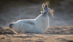 Grey Seal Pup Stretching (Mister-Tee) Tags: winterton wintertononsea norfolk seal greyseal juvenilegreyseal marine sea coast nikon nikond750 newborn