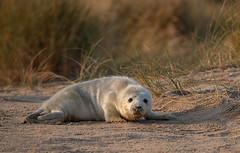 Grey Seal Pup in the Morning Light (Mister-Tee) Tags: winterton wintertononsea norfolk seal greyseal juvenilegreyseal marine sea coast nikon nikond750 newborn aaaaahh