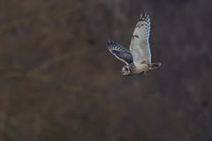 1st Short Eared Owl of 2020 (Leechy8) Tags: seo owl shortearedowl bird birdofprey birdinflight bif hunting vole