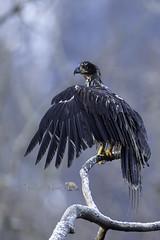 Air Dried (PamsWildImages) Tags: raptor bird britishcolumbia baldeagle nature naturephotographer wildlife wildlifephotographer pamswildimages