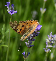 Painted Lady Butterfly (MJ Harbey) Tags: butterfly paintedladybutterfly vanessacardui insect lepidoptera nymphalidae nikon d3300 nikond3300 lavender lavandula eudicot asterids lamiaceae nepetoideae